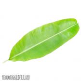 Листя банана