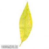Листя верби. властивості листя верби