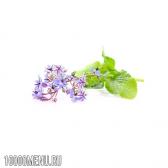 Огіркова трава бораго (бурачник)