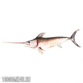 Меч-риба. калорійність і види меч-риби