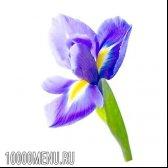 Рослина ірис. властивості і користь ірису
