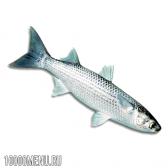 Риба чорна кефаль (лобан). види чорної кефалі