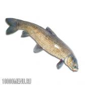 Риба чорний амур
