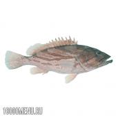 Риба групер (мероу)