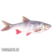 Риба язь