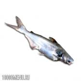 Риба пангасіус. калорійність і користь пангасіуса