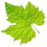 Властивості виноградного листя. користь і шкода виноградного листя