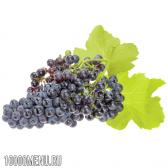 Виноград каберне совіньон (cabernet sauvignon)