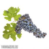 Виноград мерло (merlot)